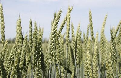 Рейтинг сортов озимой пшеницы 2020г.