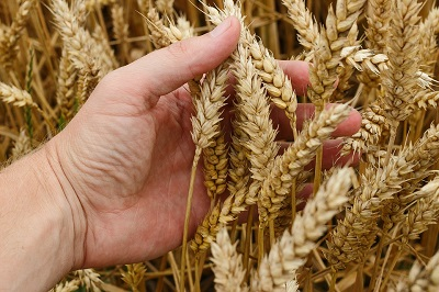 Сельхозпроизводители предпочитают российские семена