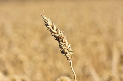 Развитие семеноводства в Забайкалье