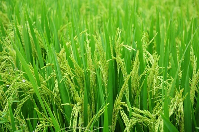 Запатентованы новые сорта риса