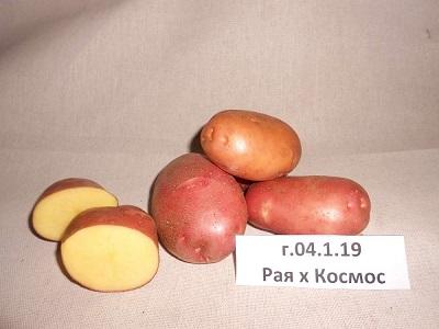 Новый сорт картофеля «Каштак»