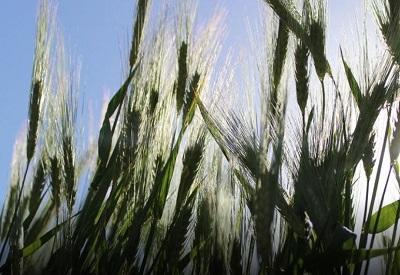 Ген устойчивости зерна