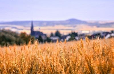 Обогащенная цинком пшеница