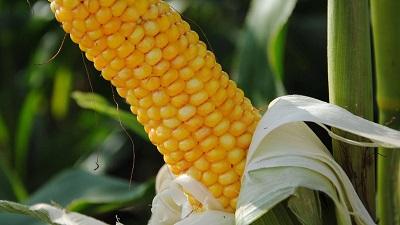 Научные испытания гибридов кукурузы