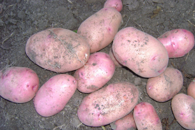 Тестирование отечественных сортов картофеля