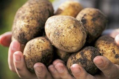 Семеноводство картофеля в Хабаровском крае