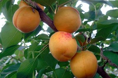Выведен суперсладкий сорт абрикоса