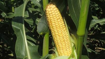 Изучение отечественных гибридов кукурузы