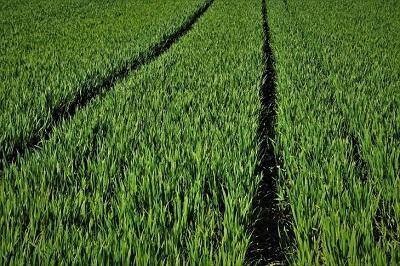 Исследования о разрушительном заболевании пшеницы