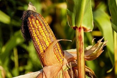 Мировой опыт возделывания кукурузы