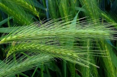 Нейросеть для зерновых культур