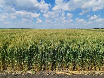 Новый сорт Подмосковной пшеницы