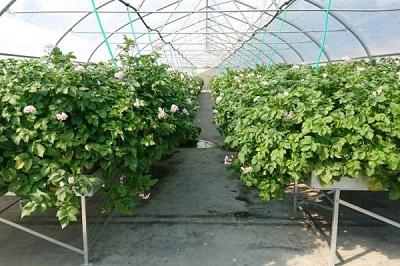Фитотронный инкубатор для картофеля