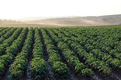Ген самосовместимости картофеля