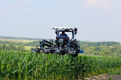 Гибридизация кукурузы – дело тонкое
