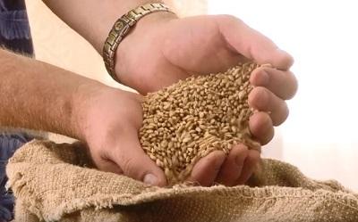 Новый сорт пшеницы Даур