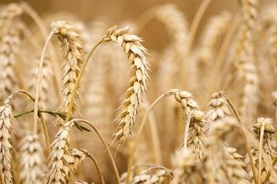 О качестве древних сортов пшеницы