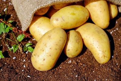 Новый сорт картофеля «сокур»