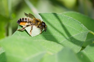 Пчелы-листорезы повышают урожайность
